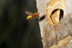 European hornet at the entry of nest in a trunk France (wasp)
