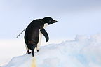 Adelie penguin on ice (Adelie penguin)