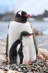 Gentoo penguin with its young (Gentoo penguin)