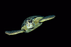 Hawksbill Sea Turtle swimming Sipadan Malaysia (Hawksbill sea turtle)