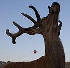 Deer bellowing in response to noise from the balloon burners (Deer  (unidentified))