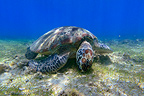 Green sea Turtle feeding on a herbarium Mayotte (Green sea turtle)