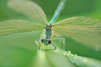Beautiful Demoiselle covered with dew Touraine France