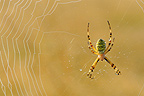 Wasp Spider at steal on its cobweb Touraine France (Spider)