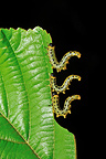 Sawflies caterpillars eating a leaf Touraine France