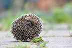 European hedgehog rolled into a ball Oberbruck Haut-Rhin  (Western european hedgehog )