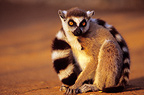Ring tailed Lemur sat on the ground Madagascar (Ring-tailed lemur)