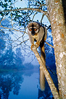 Brown Lemur on a branch on a river bank Madagascar (Brown Lemur)