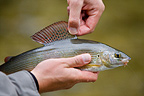 Presentation of a Grayling fly fishing (European grayling)