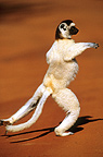 Coquerel's Sifaka jumping on a laterite soil Madagascar (Verreaux�s sifaka)