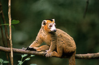 Male Crowned Lemur careful on a branch Madagascar (Crowned lemur )