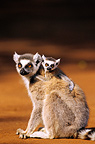 Ring tailed lemur adult with young on the ground Madagascar (Ring-tailed lemur)