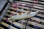 A pike caught in boat tanks on ' Stock '�Moselle (Northern pike)