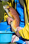 Pressing a Brown trout mature for reproduction (Brown trout)