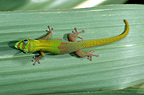 Gold-dust Day Gecko on a leaf Madagascar