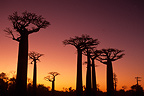 Baobab alley at sunset Morondava Madagascar