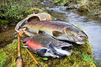 Brown trout and Brook trout on the bank (Brook trout; Brown trout)