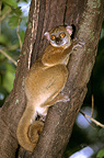 Western Avahi in the hollow of a trunk Madagascar (Ankarana sportive Lemur)