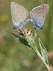 Mating of Greek Mazarine Blues on a Knapweed Vosges (Greek Mazarine Blue)