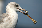 A seagull at the seaside holding a bone in its beak (Seagull)