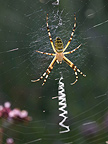Wasp Spider at steal on its cobweb Doubs France (Spider)