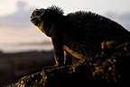 Male Marine Iguana on a rock at twilight Galapagos (Marine Iguana )