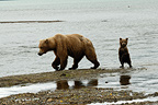 Female Grizzly Bear and cub on a lake Katmai Alaska  (Grizzly bear )