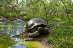 Chatham Island  Tortoises in a water place, Galapagos (Chatham Island Tortoise)
