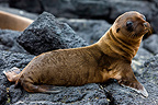 Young Galapagos sea lion on rocks Galapagos (California sea lions)