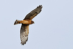 Hen harrier in flight Alaska USA  (Hen Harrier)