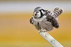 Northern Hawk Owl on a log  Alaska USA (Northern Hawk Owl)