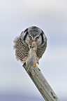 Northern Hawk Owl having captured a field mouse Alaska USA� (Northern Hawk Owl)