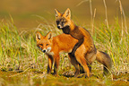 Young Red Foxes simulated coupling Alaska USA  (Red fox)