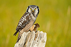 Northern Hawk Owl and prey on a dead tree Alaska�USA (Northern Hawk Owl)