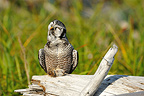 Northern Hawk Owl on a dead tree Alaska�USA (Northern Hawk Owl)