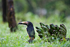 Aracari Collar eating Bananas Costa Rica� (Collared Aracari)