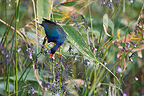 Purple Gallinule eating flowers Costa Rica (Purple Gallinule)
