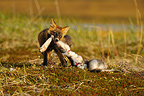 Red fox with a part of snow shoe hare in tundra Alaska USA  (Red fox)