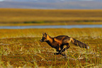 Red fox running in tundra Alaska USA� (Red fox)