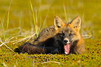 Young red fox yawning in the tundra, Alaska USA  (Red fox)