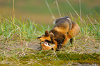 Young red foxes playing in the tundra  Alaska USA� (Red fox)