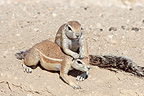 South African Ground Squirrel grooming an other Namibia (South african ground squirrel)