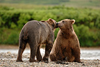 Meet friendly grizzly riverside Katmai�Alaska USA (Brown bear)