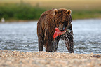 Grizzly catching Sockeye salmon Katmai Alaska USA (Grizzly bear )