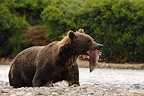 Grizzly with a female Salmon loses her eggs Katmai Alaska (Grizzly bear )