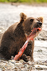 Grizzly eating a sockeye salmon in a river Katmai Alaska (Grizzly bear )