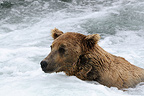 Portrait Grizzly fishing in river Katmai, Alaska� (Grizzly bear)