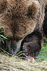 Grizzly eating salmon eggs on the bank Katmai�Alaska (Grizzly bear )