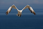 Northern Gannet in flight Bonne Aventure Island Gasp�sie (Northern Gannet)