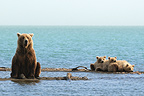 Grizzly and young lake Katmai Alaska  (Grizzly bear)